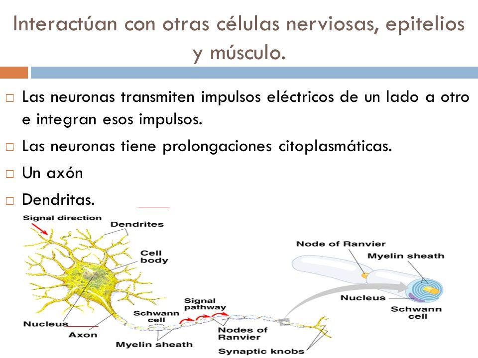 Interactúan con otras células nerviosas, epitelios y músculo. Las neuronas transmiten impulsos eléctricos de un lado a otro e integran esos impulsos.