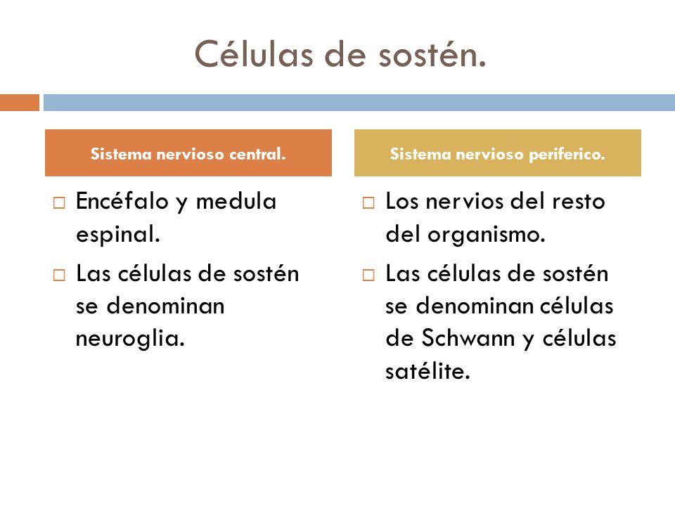 Células de sostén. Encéfalo y medula espinal. Las células de sostén se denominan neuroglia. Los nervios del resto del organismo. Las células de sostén