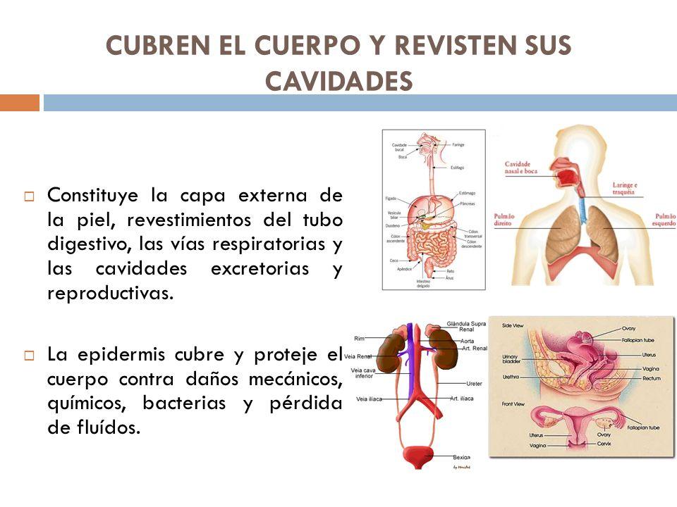 CUBREN EL CUERPO Y REVISTEN SUS CAVIDADES Constituye la capa externa de la piel, revestimientos del tubo digestivo, las vías respiratorias y las cavid