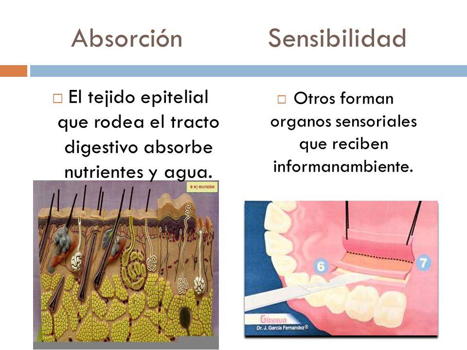 Absorción Sensibilidad El tejido epitelial que rodea el tracto digestivo absorbe nutrientes y agua. Otros forman organos sensoriales que reciben infor