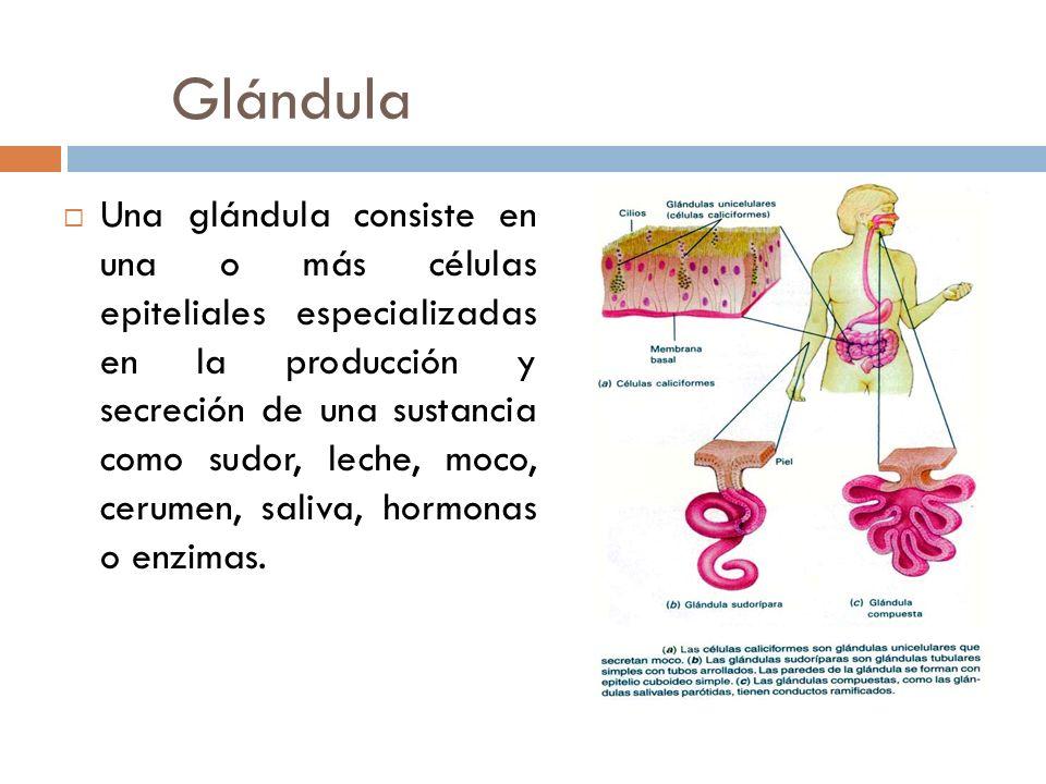 Glándula Una glándula consiste en una o más células epiteliales especializadas en la producción y secreción de una sustancia como sudor, leche, moco,