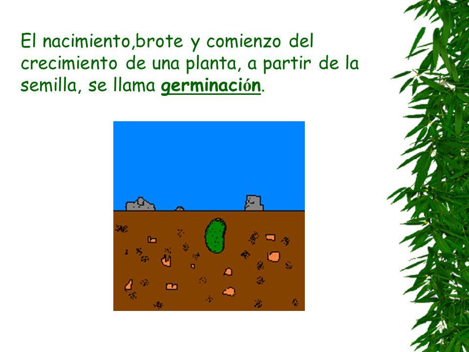 Los frutos Hay dos clases de frutos: Frutos secos y frutos carnosos Los frutos secos se entierran. As í nacer á una nueva planta Los frutos carnosos c