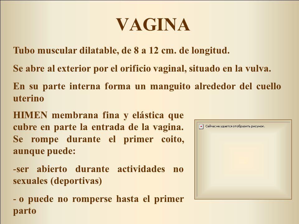 VAGINA HIMEN membrana fina y elástica que cubre en parte la entrada de la vagina. Se rompe durante el primer coito, aunque puede: -ser abierto durante