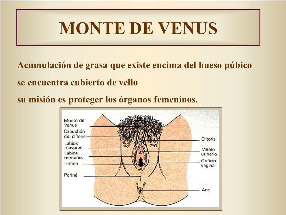 MONTE DE VENUS Acumulación de grasa que existe encima del hueso púbico se encuentra cubierto de vello su misión es proteger los órganos femeninos.