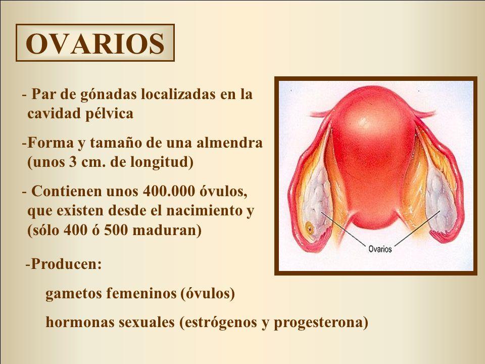 OVARIOS - Par de gónadas localizadas en la cavidad pélvica -Forma y tamaño de una almendra (unos 3 cm. de longitud) - Contienen unos 400.000 óvulos, q