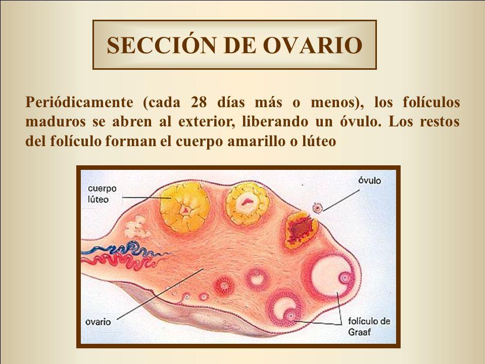 SECCIÓN LONGITUDINAL DE OVARIO ZONA CORTICAL: con cavidades llamadas FOLÍCULOS que contienen los futuros ÓVULOS en distintos estadios de maduración ZONA MEDULAR: de tejido conjuntivo contiene nervios y vasos sanguíneos