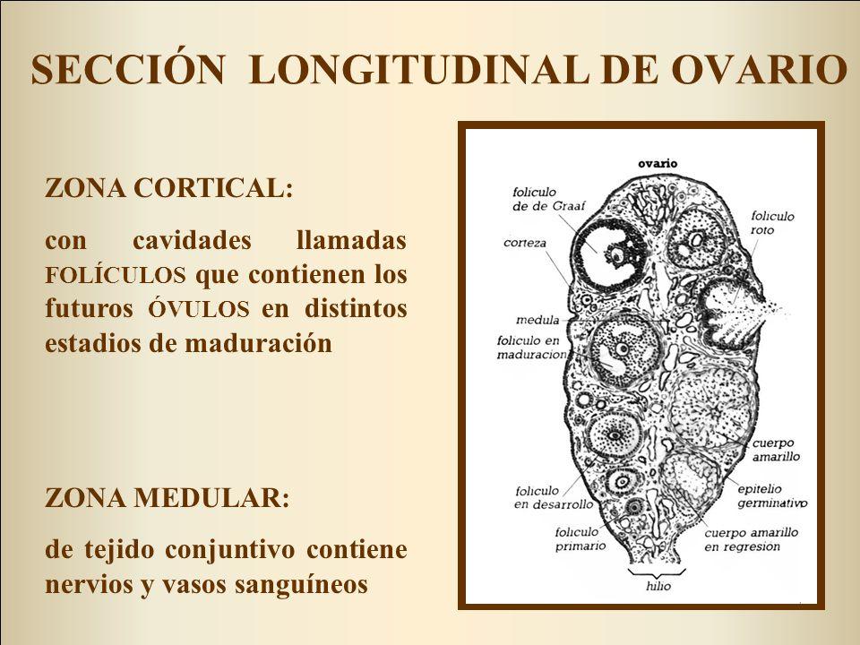TROMPAS DE FALOPIO (UTERINAS U OVIDUCTOS) Forma de embudo alargado o cuerno de la abundancia Partes: - infundíbulo: parte más distal, recoge al óvulo maduro - ampolla - istmo -región intersticial.