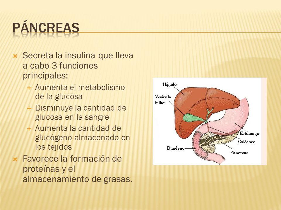 Secreta la insulina que lleva a cabo 3 funciones principales: Aumenta el metabolismo de la glucosa Disminuye la cantidad de glucosa en la sangre Aumen