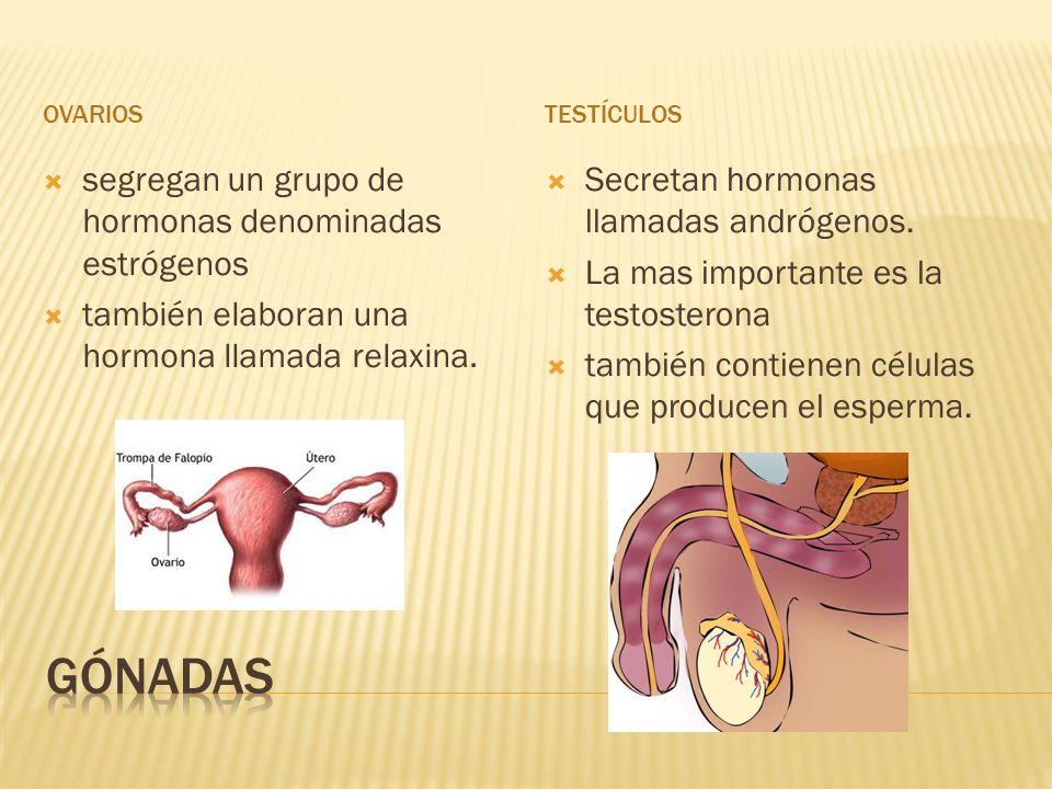 OVARIOSTESTÍCULOS segregan un grupo de hormonas denominadas estrógenos también elaboran una hormona llamada relaxina. Secretan hormonas llamadas andró
