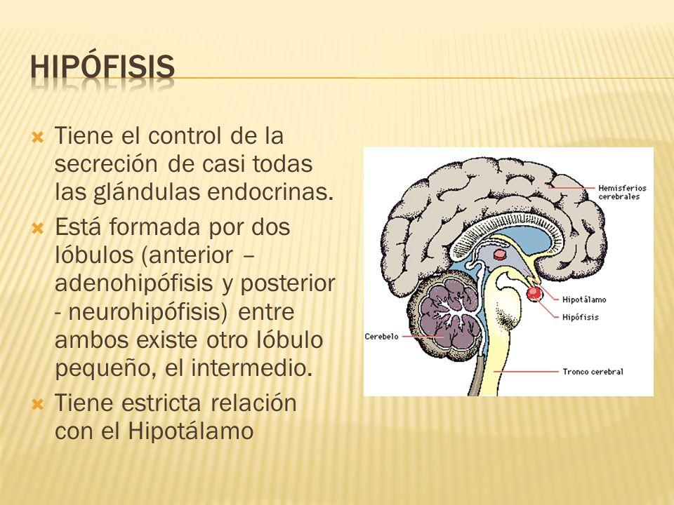 Lóbulo anterior: Hormona del crecimiento (GH) TSH ACTH Prolactina (LTH) Foliculoestimulante (FSH) Luteinizante (LH) Lóbulo posterior: Antidiurética (ADH) o vasopresina Oxitocina Lóbulo intermedio: Hormona estimulante de los melanocitos