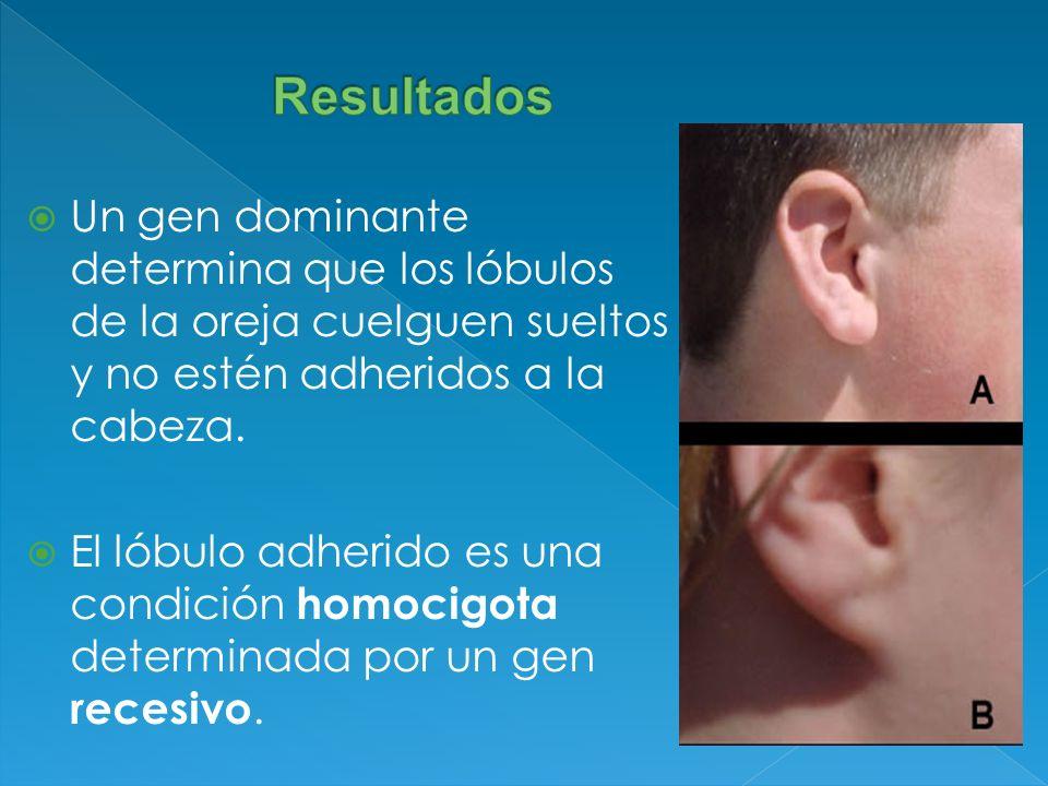 Un gen dominante determina que los lóbulos de la oreja cuelguen sueltos y no estén adheridos a la cabeza. El lóbulo adherido es una condición homocigo