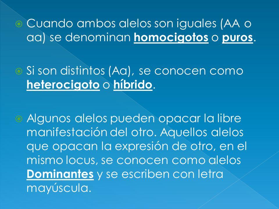 Cuando ambos alelos son iguales (AA o aa) se denominan homocigotos o puros. Si son distintos (Aa), se conocen como heterocigoto o híbrido. Algunos ale