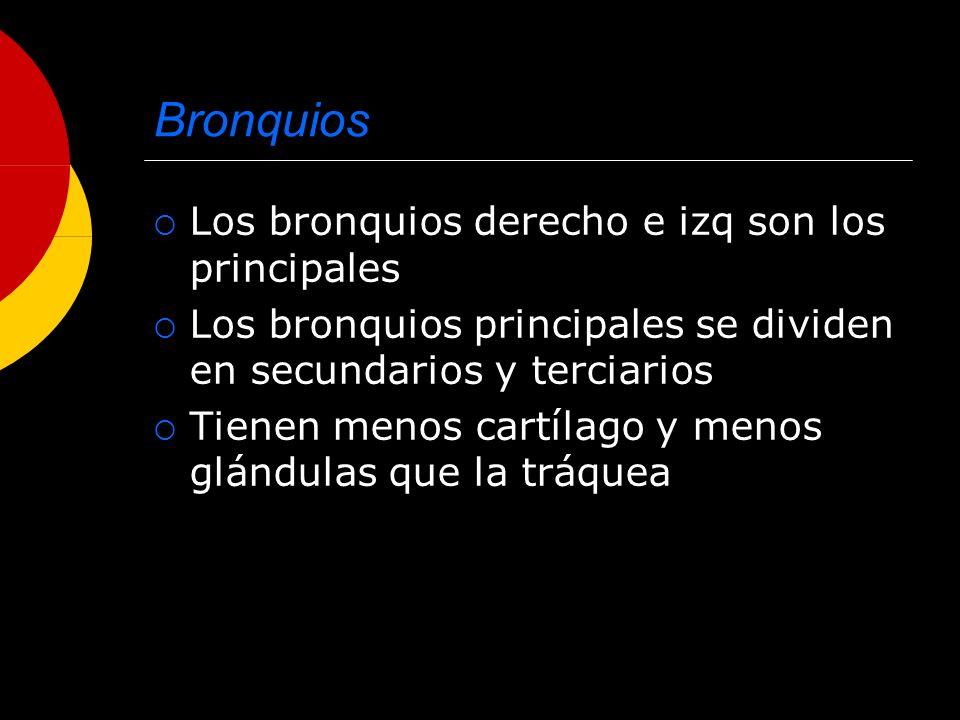 Bronquios Los bronquios derecho e izq son los principales Los bronquios principales se dividen en secundarios y terciarios Tienen menos cartílago y me
