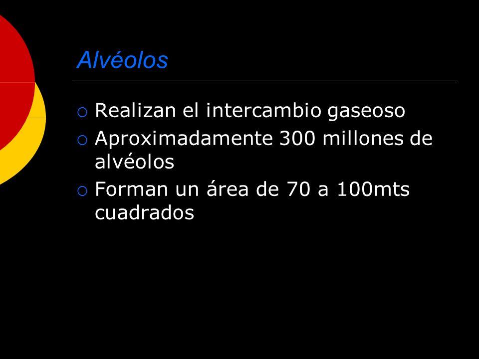 Alvéolos Realizan el intercambio gaseoso Aproximadamente 300 millones de alvéolos Forman un área de 70 a 100mts cuadrados