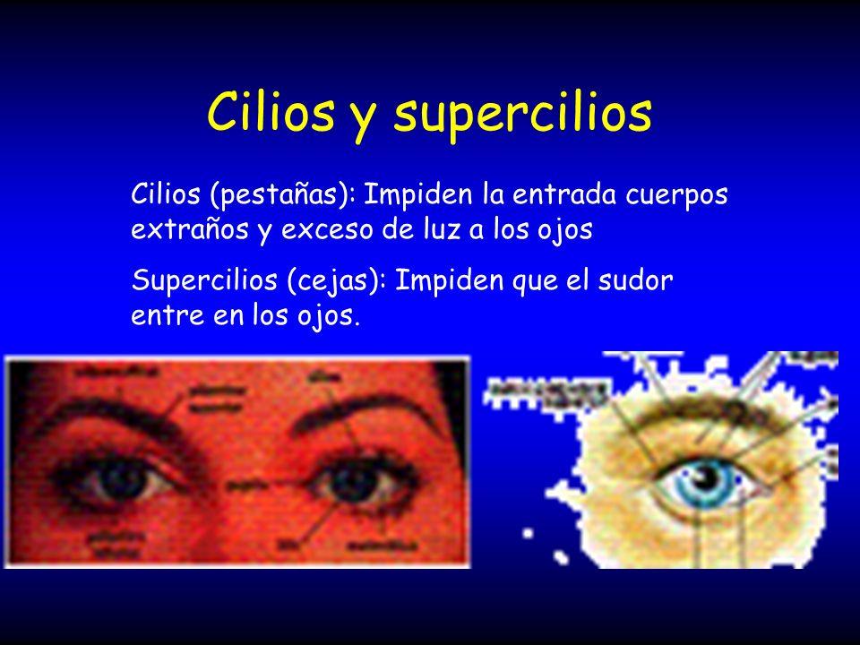 Cilios y supercilios Cilios (pestañas): Impiden la entrada cuerpos extraños y exceso de luz a los ojos Supercilios (cejas): Impiden que el sudor entre