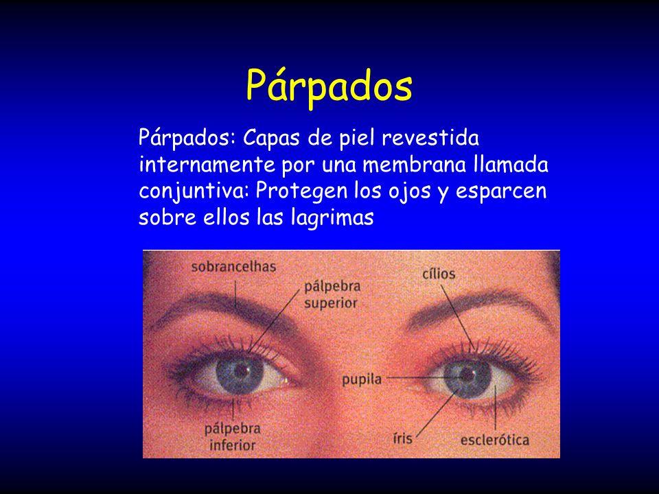 Párpados Párpados: Capas de piel revestida internamente por una membrana llamada conjuntiva: Protegen los ojos y esparcen sobre ellos las lagrimas