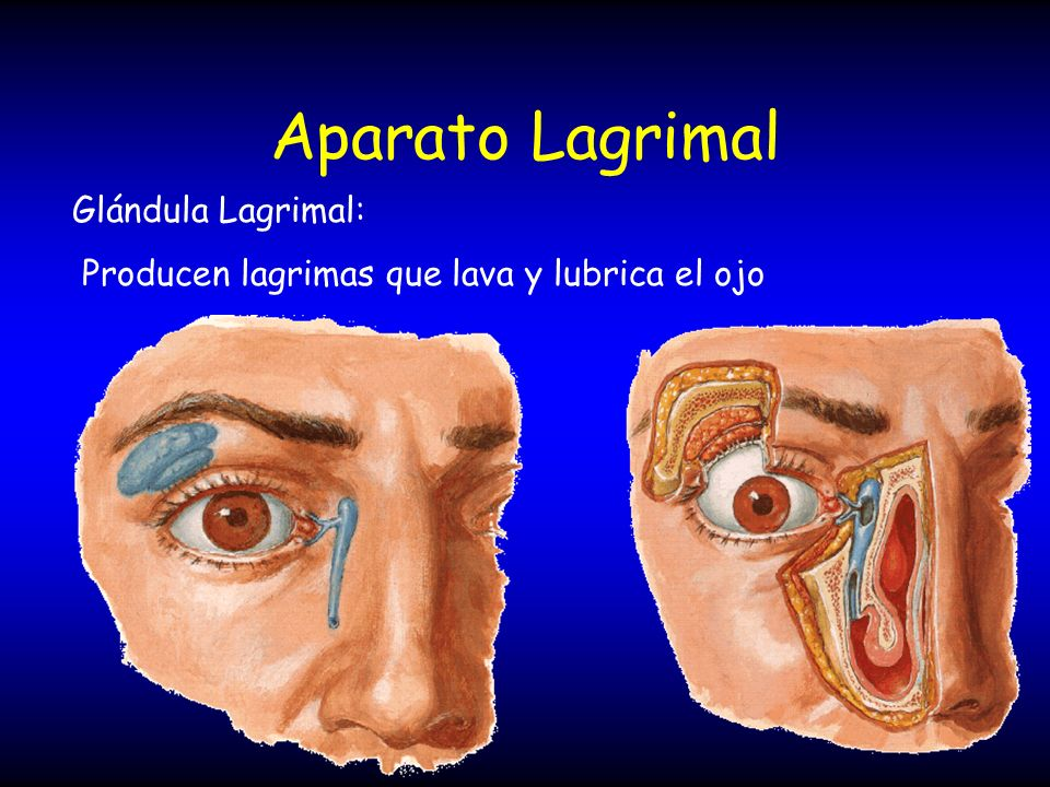 Aparato Lagrimal Glándula Lagrimal: Producen lagrimas que lava y lubrica el ojo