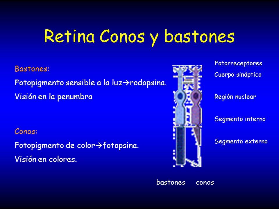 Retina Conos y bastones Fotorreceptores Cuerpo sináptico Región nuclear Segmento interno Segmento externo bastonesconos Bastones: Fotopigmento sensibl