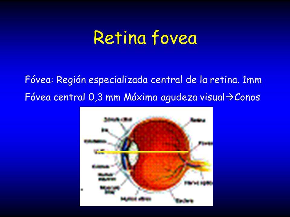 Retina fovea Fóvea: Región especializada central de la retina. 1mm Fóvea central 0,3 mm Máxima agudeza visual Conos