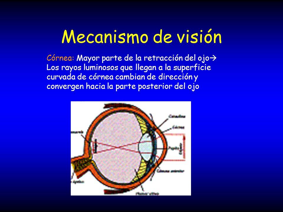 Mecanismo de visión Córnea: Mayor parte de la retracción del ojo Los rayos luminosos que llegan a la superficie curvada de córnea cambian de dirección