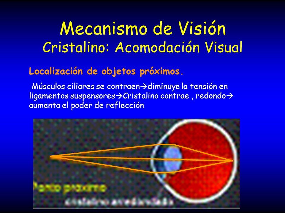 Mecanismo de Visión Cristalino: Acomodación Visual Localización de objetos próximos. Músculos ciliares se contraen diminuye la tensión en ligamentos s