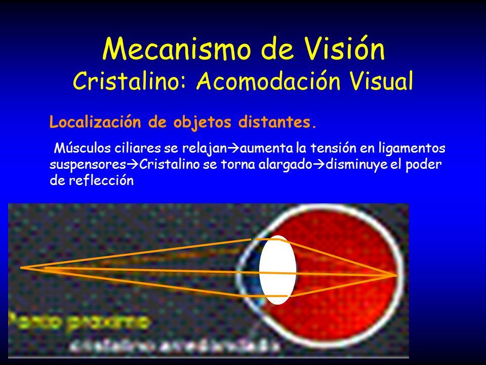 Mecanismo de Visión Cristalino: Acomodación Visual Localización de objetos distantes. Músculos ciliares se relajan aumenta la tensión en ligamentos su