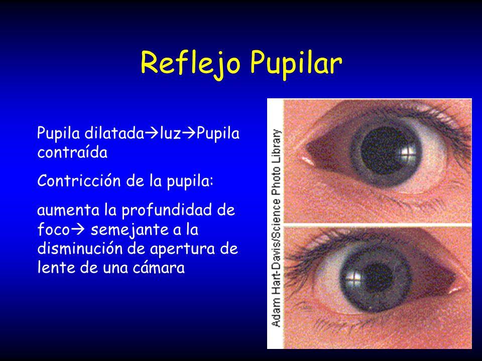 Reflejo Pupilar Pupila dilatada luz Pupila contraída Contricción de la pupila: aumenta la profundidad de foco semejante a la disminución de apertura d