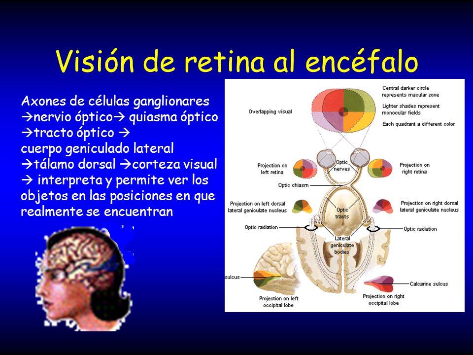 Visión de retina al encéfalo Axones de células ganglionares nervio óptico quiasma óptico tracto óptico cuerpo geniculado lateral tálamo dorsal corteza