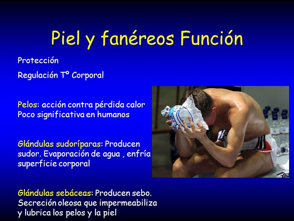 Piel y fanéreos Función Protección Regulación Tº Corporal Pelos: acción contra pérdida calor Poco significativa en humanos Glándulas sudoríparas: Prod