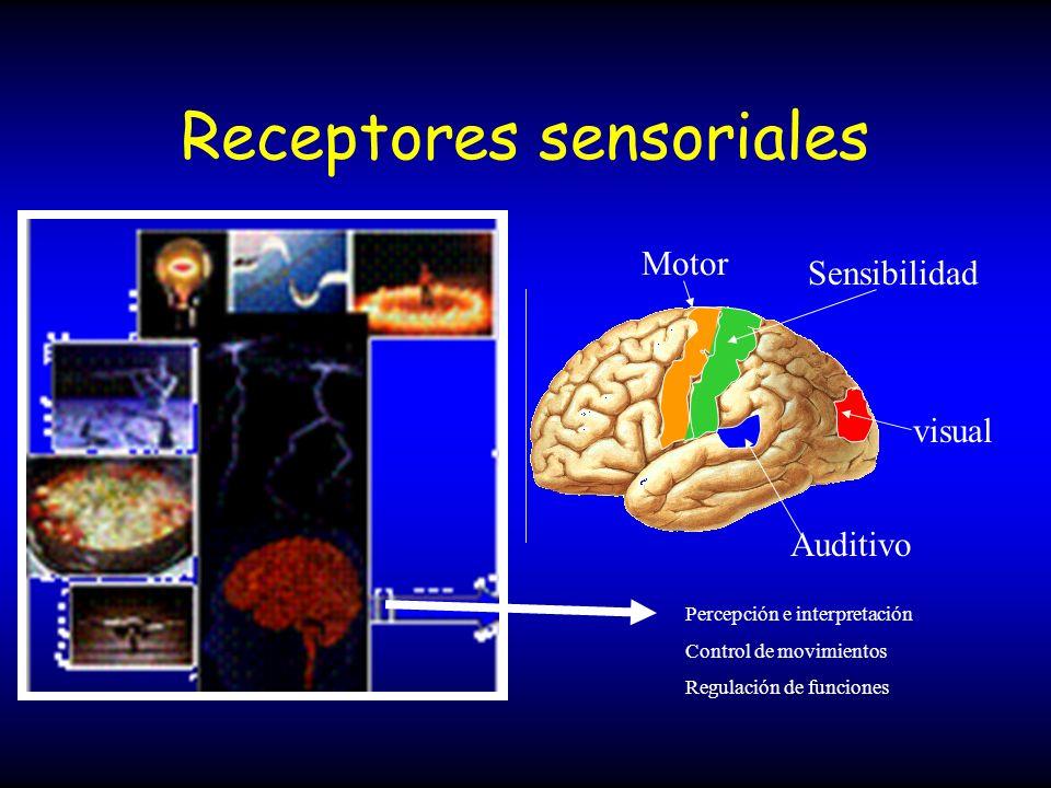 Sistema sensorial Formado por células receptoras periféricas y órganos sensoriales ( o de los sentidos ) especializados, asociadas al encéfalo Ojos sentido de la visión Piel sentido del tacto Orejas sentido de audición y equilibrio Fosas nasales sentido del olfato Lengua sentido de gusto