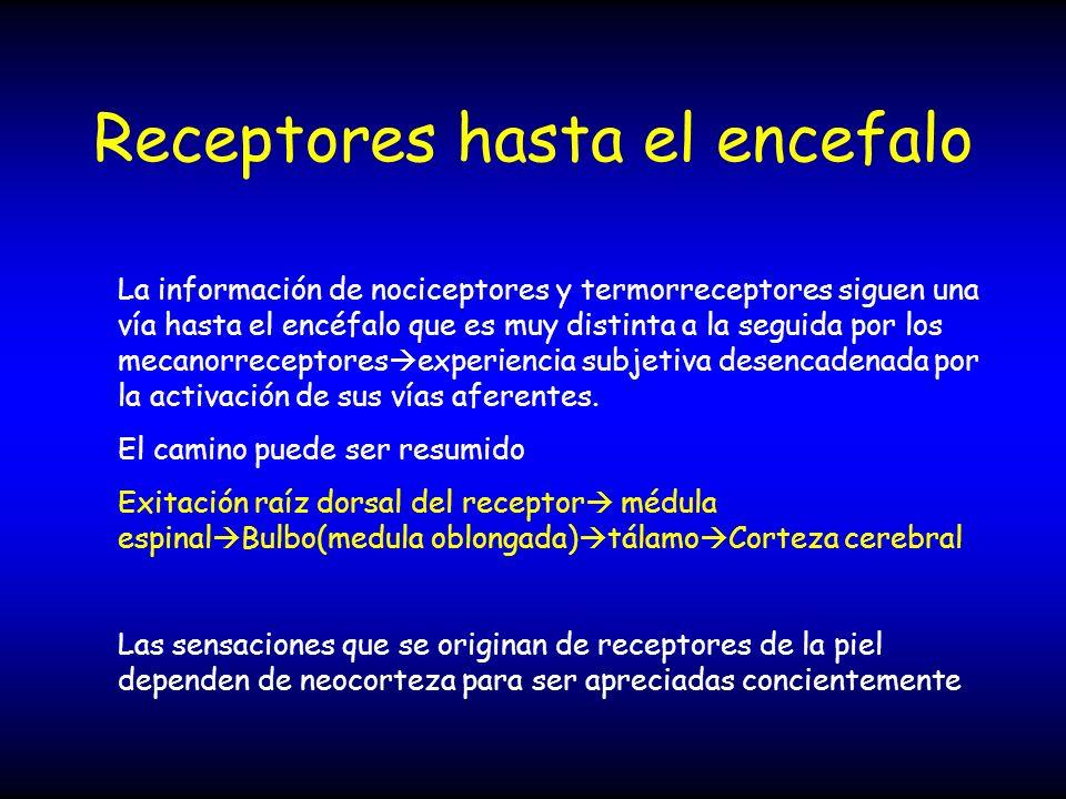 Receptores hasta el encefalo La información de nociceptores y termorreceptores siguen una vía hasta el encéfalo que es muy distinta a la seguida por l