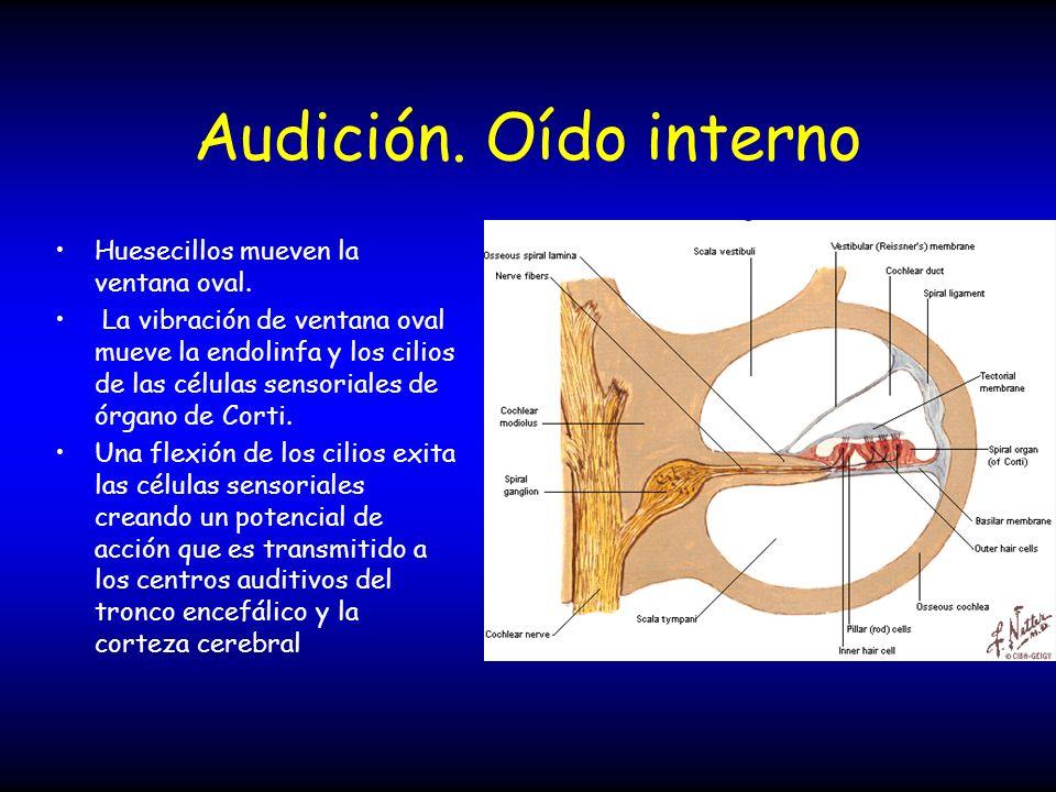 Audición. Oído interno Huesecillos mueven la ventana oval. La vibración de ventana oval mueve la endolinfa y los cilios de las células sensoriales de