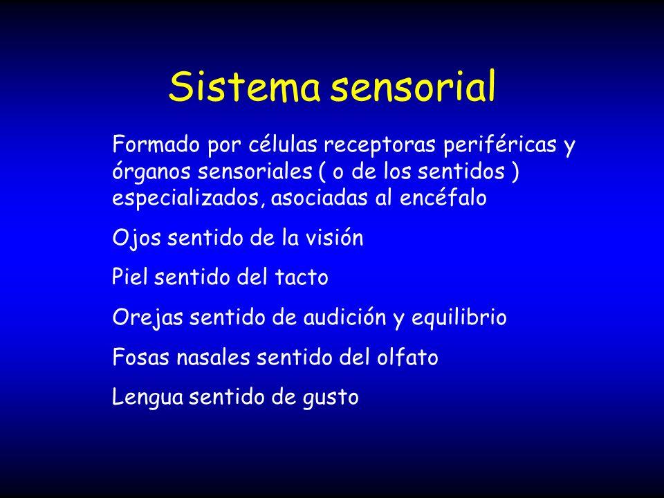 Sistema sensorial Formado por células receptoras periféricas y órganos sensoriales ( o de los sentidos ) especializados, asociadas al encéfalo Ojos se