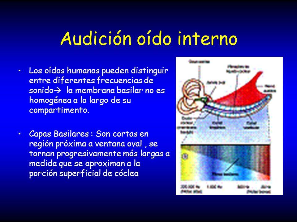 Audición oído interno Los oídos humanos pueden distinguir entre diferentes frecuencias de sonido la membrana basilar no es homogénea a lo largo de su