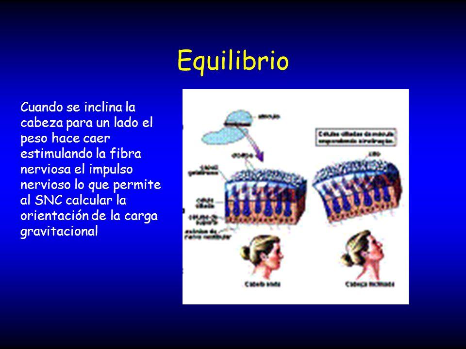 Equilibrio Cuando se inclina la cabeza para un lado el peso hace caer estimulando la fibra nerviosa el impulso nervioso lo que permite al SNC calcular
