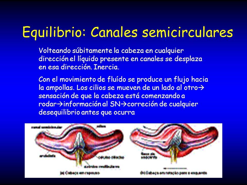 Equilibrio: Canales semicirculares Volteando súbitamente la cabeza en cualquier dirección el líquido presente en canales se desplaza en esa dirección.