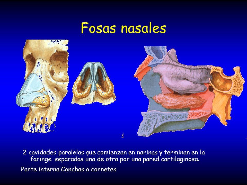 Fosas nasales 2 cavidades paralelas que comienzan en narinas y terminan en la faringe separadas una de otra por una pared cartilaginosa. Parte interna