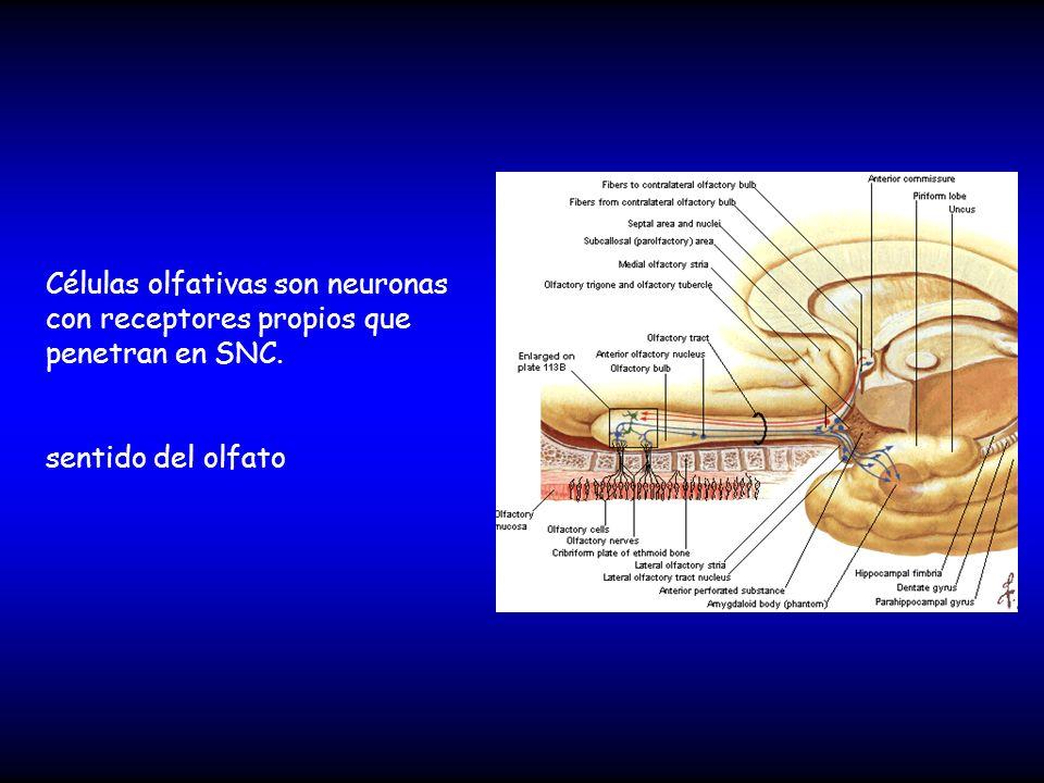 Células olfativas son neuronas con receptores propios que penetran en SNC. sentido del olfato