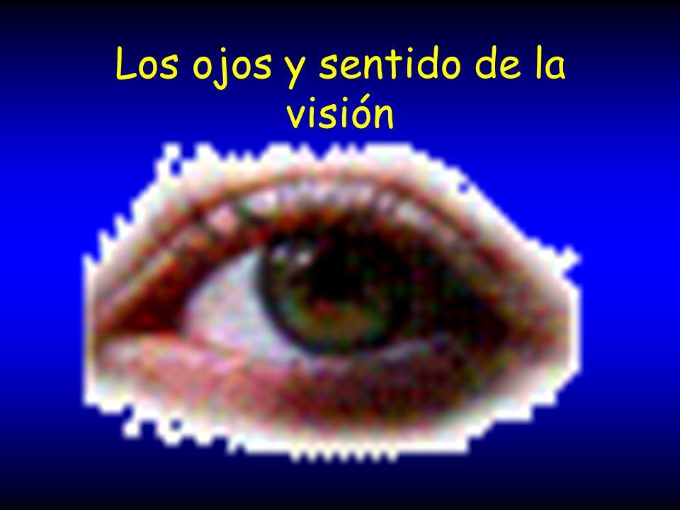 Visión de retina al encéfalo Axones de células ganglionares nervio óptico quiasma óptico tracto óptico cuerpo geniculado lateral tálamo dorsal corteza visual interpreta y permite ver los objetos en las posiciones en que realmente se encuentran