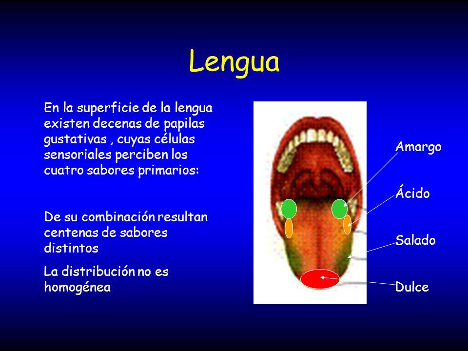 Lengua En la superficie de la lengua existen decenas de papilas gustativas, cuyas células sensoriales perciben los cuatro sabores primarios: De su com