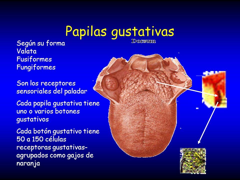 Papilas gustativas Según su forma Valata Fusiformes Fungiformes Son los receptores sensoriales del paladar Cada papila gustativa tiene uno o varios bo
