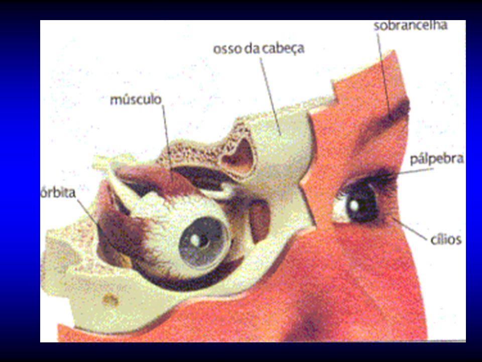 Anexos del Ojo