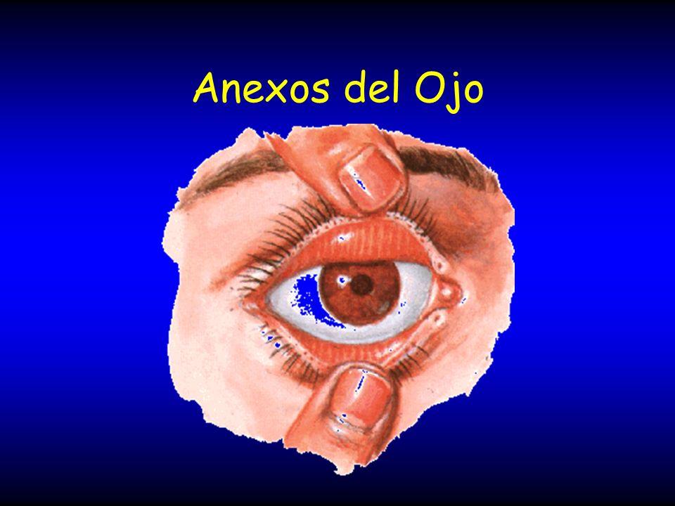 Retina fovea Fóvea: Región especializada central de la retina.