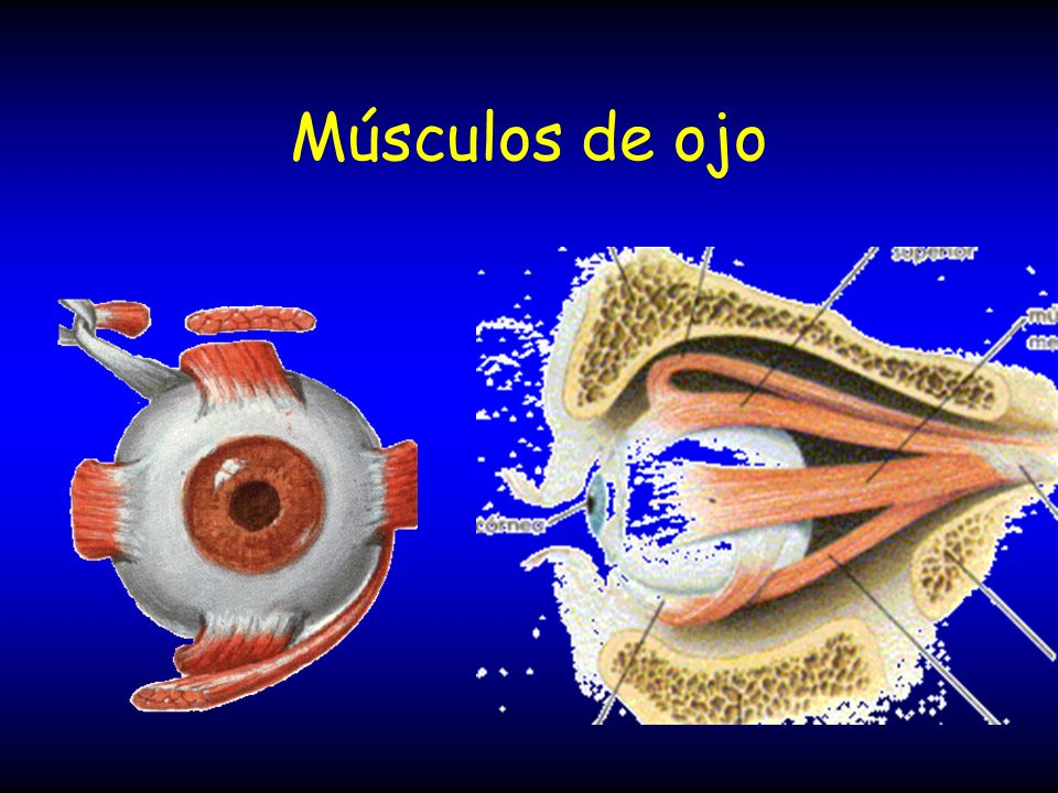Músculos de ojo