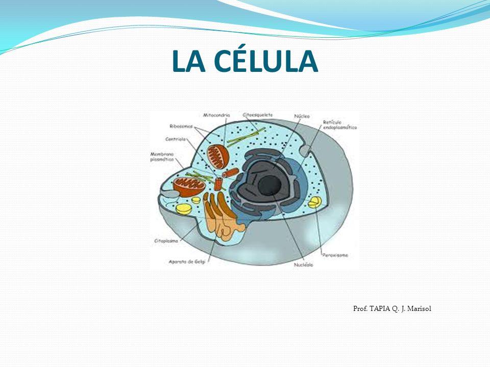 Prof. TAPIA Q. J. Marisol LA CÉLULA