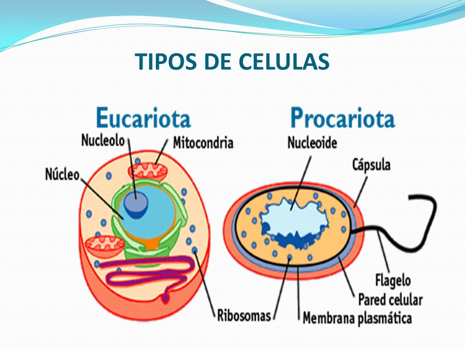 LA CÉLULA EUCARIOTA Se denominan células eucariotas a todas las Células que tienen su material hereditario, fundamentalmente su información genética, encerrado dentro de una doble membrana, la envoltura nuclear; la cual delimita un núcleo celular.