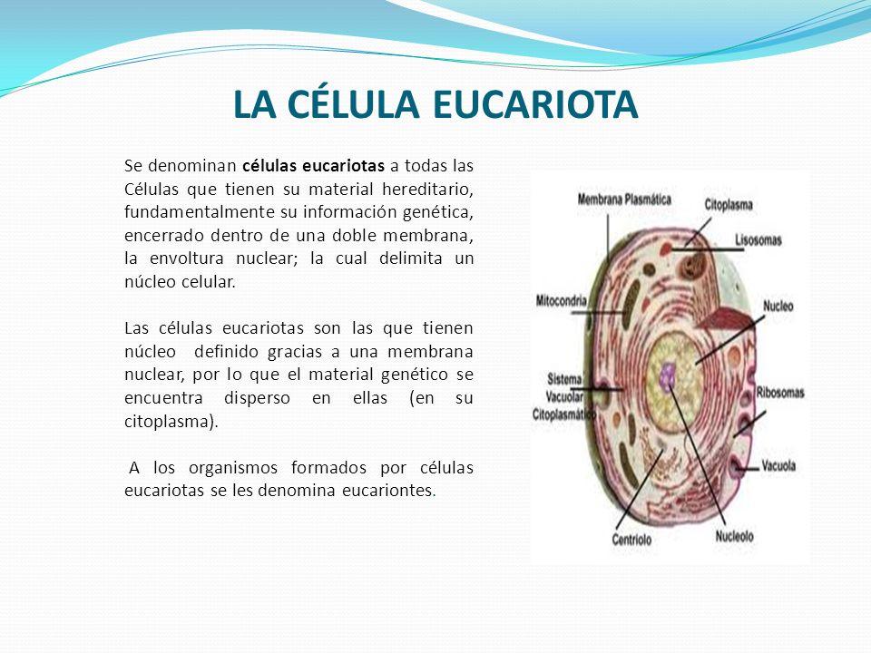 LA CÉLULA EUCARIOTA Se denominan células eucariotas a todas las Células que tienen su material hereditario, fundamentalmente su información genética,