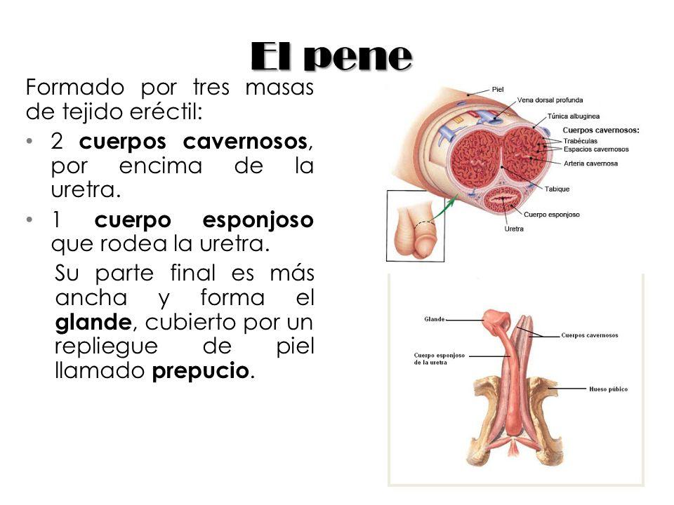 El pene Formado por tres masas de tejido eréctil: 2 cuerpos cavernosos, por encima de la uretra. 1 cuerpo esponjoso que rodea la uretra. Su parte fina