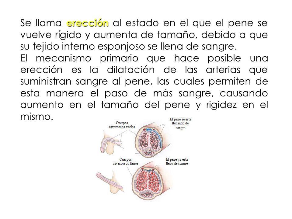 erección Se llama erección al estado en el que el pene se vuelve rígido y aumenta de tamaño, debido a que su tejido interno esponjoso se llena de sang