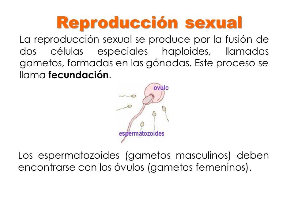 Reproducción sexual La reproducción sexual se produce por la fusión de dos células especiales haploides, llamadas gametos, formadas en las gónadas. Es